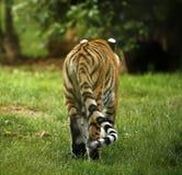La vue arrière de tigre d'une manière éblouissante beau d'Amur photographie stock libre de droits