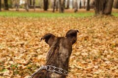 La vue arrière sur le chien du terrier bringé du Staffordshire sur le fond de la chute part Image libre de droits