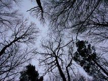 La vue d'angle faible sur à feuilles caduques découvrent et des silhouettes de couronne de pin Photographie stock