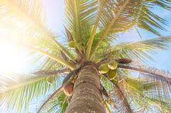 La vue d'angle d'Uprisen de la noix de coco part avec la couleur fraîche du fond de ciel bleu de la plage photos libres de droits