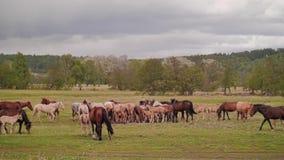 La vue d'ensemble du pré sur lequel frôlez les chevaux domestiques clips vidéos