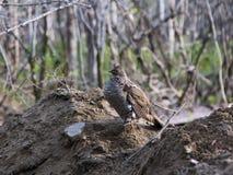La vue de côté d'un gris morph la grouse ruffed se tenant dans le profil sur un monticule de la terre pendant un matin de ressort photos libres de droits