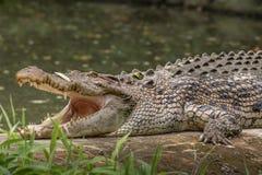 La vue de côté de crocodile avec des mâchoires s'ouvrent Photos libres de droits