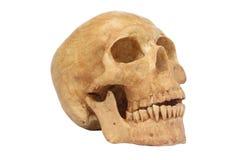La vue de côté du modèle humain de crâne d'isolement incluent le chemin Photographie stock
