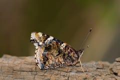 La vue de côté rouge d'amiral Butterfly avec des ailes s'est fermée, selec de plan rapproché Photographie stock libre de droits