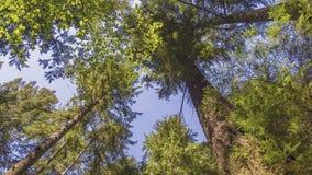 La vue de dessous vers le haut aux troncs d'arbre avec la feuille verte couronne augmenter au ciel bleu banque de vidéos