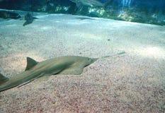 La vue de l'espèce marine sous-marine a vu du Sawfish Images libres de droits