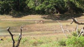La vue de la flore et de la faune en parc national de Yala, Sri Lanka banque de vidéos