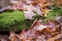 La vue de niveau du sol de plan rapproché de la chute laisse la pose sur le plancher de forêt images stock