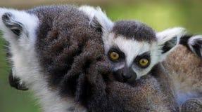 La vue en gros plan d'un jeune Anneau-a coupé la queue le lémur (le catta de lémur) Images libres de droits