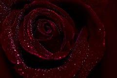 la vue en gros plan de beau rouge foncé a monté avec des baisses de rosée de l'eau Images stock