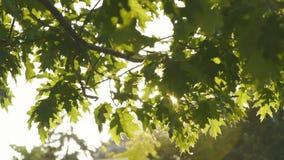 La vue en gros plan du soleil brillant par les branches mobiles couvertes de feuilles vertes banque de vidéos