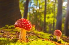 La vue ensoleillée de l'agaric de mouche répand dans une forêt Photo libre de droits