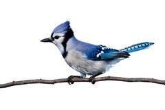 La vue horizontale du geai bleu était perché sur un branchement photographie stock libre de droits