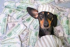 La vue supérieure d'un teckel heureux de race de chien, noir et bronzage, se trouve sur une pile des dollars d'argent contrefait  photographie stock