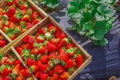 La vue supérieure des fraises savoureuses d'ecuadorian s'est fraîchement rassemblée sur une boîte en bois au-dessus d'un champ en Photo libre de droits