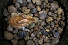 La vue supérieure des lièvres mignons de lapin contre le gravier de roches de caillou conçoivent photo stock