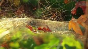 La web de araña en el bosque con rocío cae al aire libre 1280x720 HD almacen de video