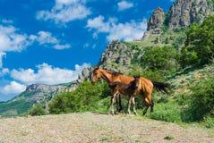La yegua y el potro en una primavera pastan en montañas Foto de archivo