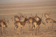 La Zambie : Lechwe noir endémique dans les marais de Bangweulu images libres de droits
