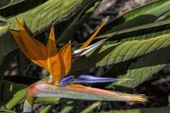 La zampa di canguro è il nome comune per varie specie, in due generi del Haemodoraceae della famiglia, quello è endemica al sud fotografia stock