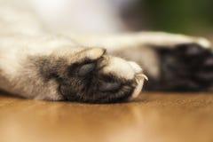 La zampa di un gatto britannico di menzogne di argento-colore Fotografie Stock Libere da Diritti