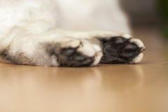La zampa di un gatto britannico di menzogne di argento-colore Immagini Stock Libere da Diritti