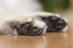 La zampa di un gatto britannico di menzogne di argento-colore Fotografia Stock Libera da Diritti