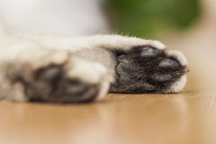 La zampa di un gatto britannico di menzogne di argento-colore Fotografia Stock