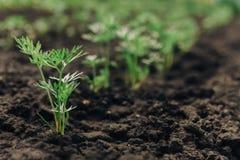 La zanahoria verde joven planea en una trayectoria en el huerto imágenes de archivo libres de regalías