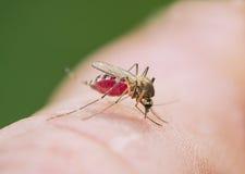 La zanzara della tigre beve il sangue Immagine Stock Libera da Diritti