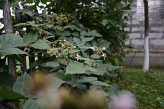 La zarzamora es negra y todavía no ha alcanzado su fruta Fotografía de archivo libre de regalías
