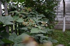 La zarzamora es negra y todavía no ha alcanzado su fruta Fotografía de archivo