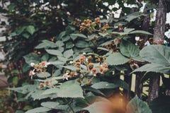 La zarzamora es negra y todav?a no ha alcanzado su fruta foto de archivo