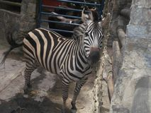 La zebra fotografia stock