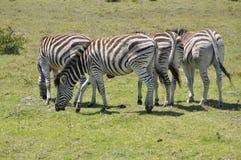 La zebra fotografia stock libera da diritti
