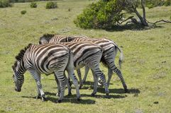 La zebra immagine stock