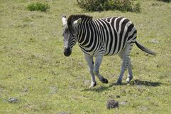 La zebra immagine stock libera da diritti