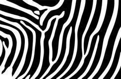 La zebra barra la priorità bassa Fotografie Stock