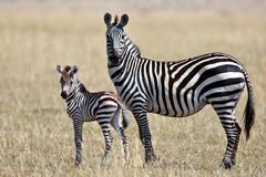 La zebra con il suo cub si leva in piedi ed osserva intorno Fotografia Stock Libera da Diritti
