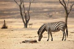 La zebra del bambino sta morendo nel Sudafrica Fotografia Stock Libera da Diritti