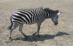 La zebra del ` s di Grevy Fotografia Stock Libera da Diritti