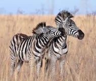 La zebra di Burchell in Africa Immagini Stock Libere da Diritti