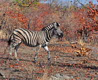 La zebra di Burchell in Africa Fotografie Stock Libere da Diritti