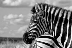 La zebra di Burchell (burchellii della quagga di equus) immagine stock libera da diritti