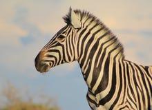 Fauna selvatica africana zebra giumenta che esamina il for Asino e cavalla