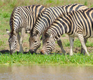 La zebra di Burchell, parco nazionale di Kruger, Sudafrica fotografie stock