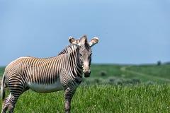 La zebra di Grevy Immagini Stock