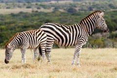 La zebra di quale Burchell laterale Fotografia Stock