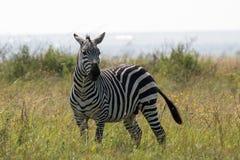 La zebra girata si dirige fotografia stock